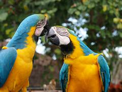 Love and Kisses - Pari of Blue and Yellow Macaws Beak to Beak Stock Photos