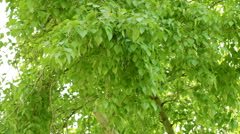 The leaves of the poplar tremble in the breeze Stock Footage