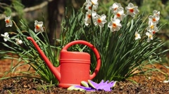 Daffodils in the garden with watering can Stock Footage