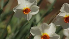 Macro Shot Of Daffodils in Bloom Stock Footage