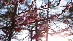 Cherry Blossoms In Bloom During Spring Stock Footage