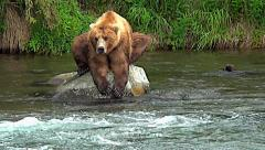 Brown Bear Hunched on Rock in River Looking for Fish Stock Footage