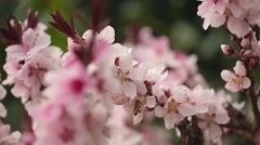 Honey Bee Pollinating Pink Flowers (Bonfire Patio Peach Tree) Stock Footage