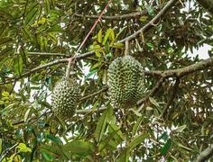 Bunch of durians on tree - stock photo