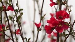 Honey Bee Pollinates Red Flower Then Flies Away (Flowering Quince) Stock Footage
