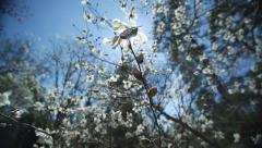 Extreme Wide Shot Of White Magnolia Tree Stock Footage