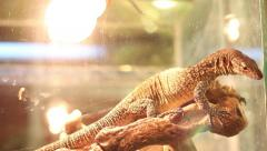 Terrarium 6 fastest lizard, varan Stock Footage