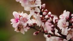 Bee Gathering Pollen From Pink Flower (Bonfire Patio Peach Tree) Stock Footage