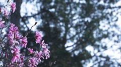 Tilt Down Past Purple Magnolia Flower Branches In Bloom Stock Footage