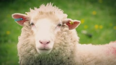 Sheep In Field Closeup Stock Footage