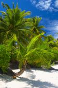Attractive palmtrees on the coral sandy beach,  Maldive island, Gan in the In - stock photo