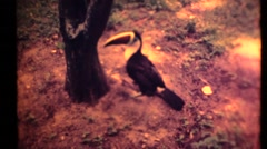 Toucan on the ground 1955 historic archival footage Stock Footage