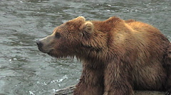 Closeup View of Brown Bear Hunched on Rock in River- Stabilized Stock Footage