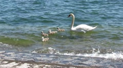 Young swans swimming under mother control Stock Footage