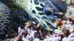 Sea turtle feeding underwater close up Stock Footage