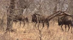 Black wildebeest herd Stock Footage