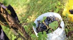 Grape Harvest 2 - stock footage