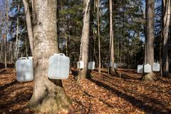 Tapping Sugar Maple Trees for Sap Stock Photos
