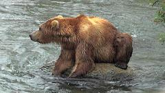 Medium View of Alaskan Brown Bear Hunched Over Rock in River - stock footage