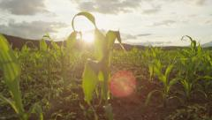 SLOW MOTION CLOSE UP: Sun shining through young maize on cornfield at sunset - stock footage