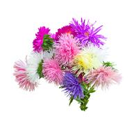 colorful asters on a white - stock photo