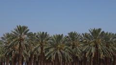Date Palm Plantation - Dead Sea, Israel Stock Footage