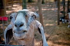Curious Goat - stock photo