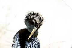 Anhinga - stock photo