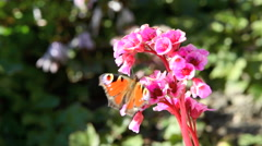 Butterfly on a pink flower in spring - stock footage