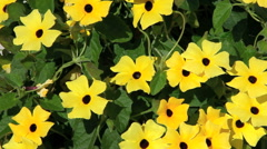 Black-eyed Susan Stock Footage