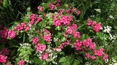 A Pink Hawthorn Bush is Blown Around in the Wind Stock Footage