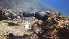 Surgeonfish underwater marine life Stock Footage