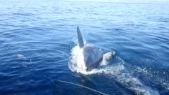 Massive great white leaps out of water near boat Stock Footage