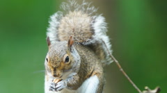 Gray Squirrel Stock Footage
