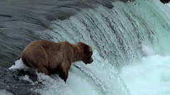 Salmon Jumps Near Alaskan Brown Bear on Falls Stock Footage