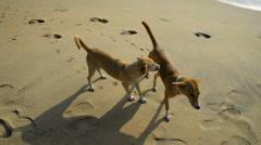 Dogs on the beach, Arugam Bay, Sri Lanka, Asia Stock Footage