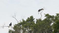 Malabar Pied Hornbill (anthracoceros coronatus) Stock Footage