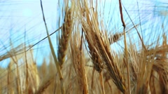 Close up Wheat Corp in Wind Stock Footage
