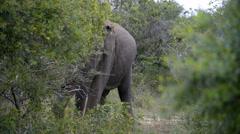 Asian or Asiatic Elephant (Elephas maximus) Stock Footage
