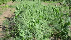 Closeup of young pea plants leaves grow in garden move in wind Stock Footage