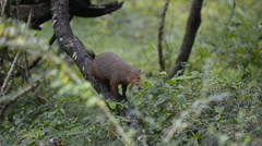 Ruddy Mongoose Stock Footage