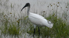 Black-headed Ibis Stock Footage