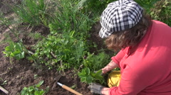 Farmer woman weeding strawberry plants in garden. Seasonal works Stock Footage