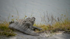 Large Mugger Crocodile (Crocodylus palustris) Stock Footage