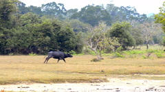 Domestic Asian water buffalo (bubalus bubalis) Stock Footage