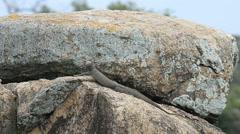 Varanus salvator, Kumana National Park, formerly Yala East, Kumana Stock Footage