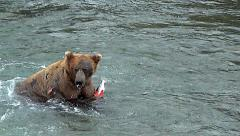 Stock Video Footage of Alaskan Brown Bear In River Shakes Off & Then Eats Salmon