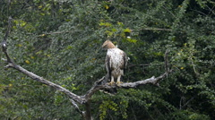 Crested hawk eagle - stock footage