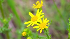 Closeup of chamomile flowers, hill in background Stock Footage