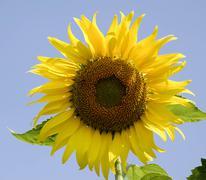 Big sunflower Stock Photos